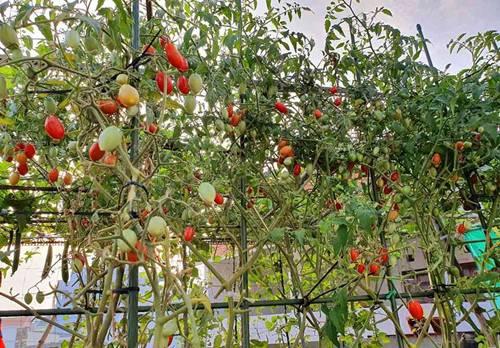 Mướt mắt vườn rau sạch tự cung tự cấp trong mùa dịch của mẹ đảm Vũng Tàu-1