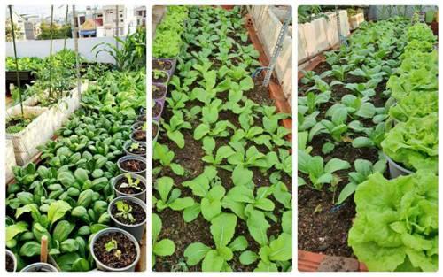 Mướt mắt vườn rau sạch tự cung tự cấp trong mùa dịch của mẹ đảm Vũng Tàu-4