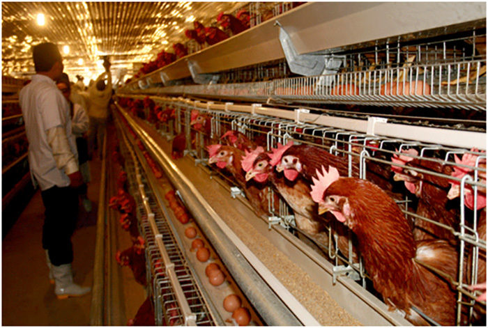 Trứng gà rẻ hơn rau, chủ trang trại lỗ chục tỷ đồng-2