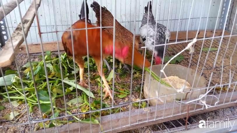 Nhờ tính toán thuê đất trồng rau, nuôi gà trên sân thượng mà mẹ đảm Hà Nội một tháng đi chợ 2 lần, tiền chợ tiêu không quá 1,5 triệu đồng/tháng cho gia đình 5 người-3