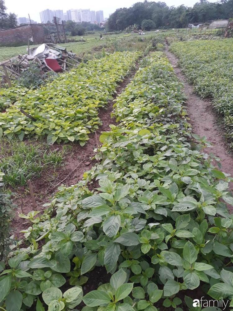 Nhờ tính toán thuê đất trồng rau, nuôi gà trên sân thượng mà mẹ đảm Hà Nội một tháng đi chợ 2 lần, tiền chợ tiêu không quá 1,5 triệu đồng/tháng cho gia đình 5 người-5