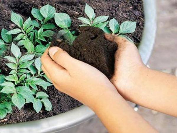 Khoai tây mọc mầm chớ vội vứt đi, để lại vùi vào đất sẽ thấy điều bất ngờ-3