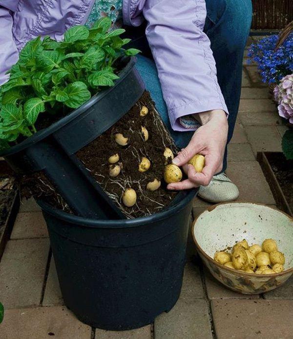 Khoai tây mọc mầm chớ vội vứt đi, để lại vùi vào đất sẽ thấy điều bất ngờ-5