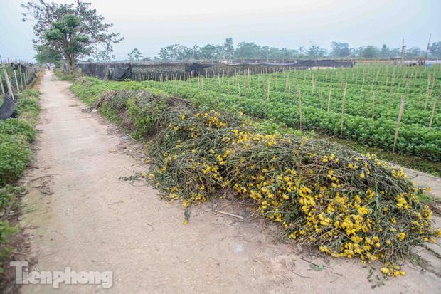 Không có nơi tiêu thụ, người nông dân khóc ròng, cắt hoa vứt đầy đường-1