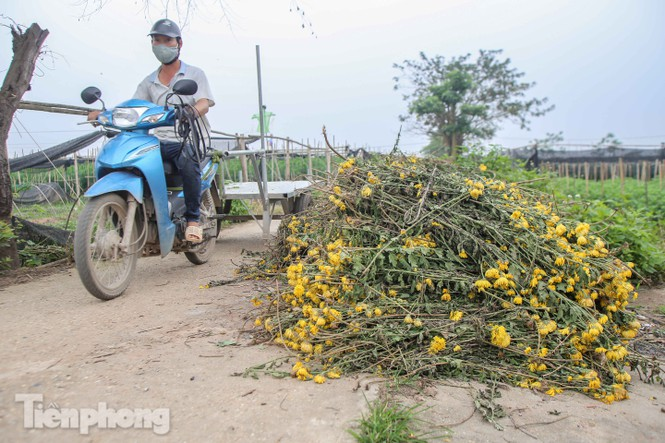 Không có nơi tiêu thụ, người nông dân khóc ròng, cắt hoa vứt đầy đường-2