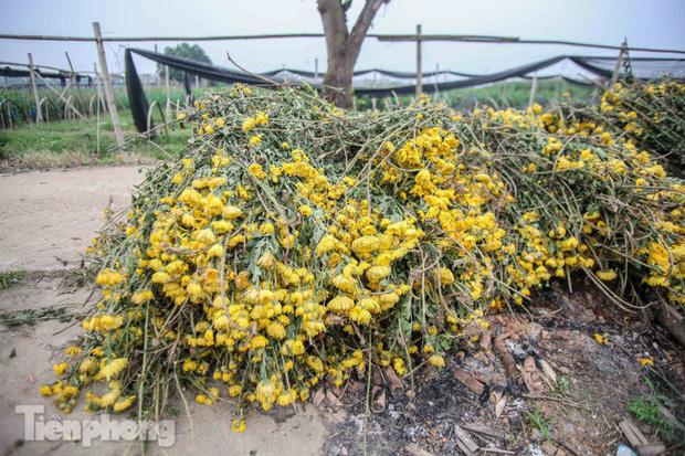 Không có nơi tiêu thụ, người nông dân khóc ròng, cắt hoa vứt đầy đường-3
