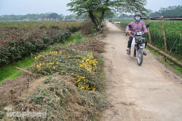 Không có nơi tiêu thụ, người nông dân khóc ròng, cắt hoa vứt đầy đường-5