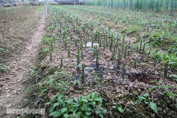 Không có nơi tiêu thụ, người nông dân khóc ròng, cắt hoa vứt đầy đường-12