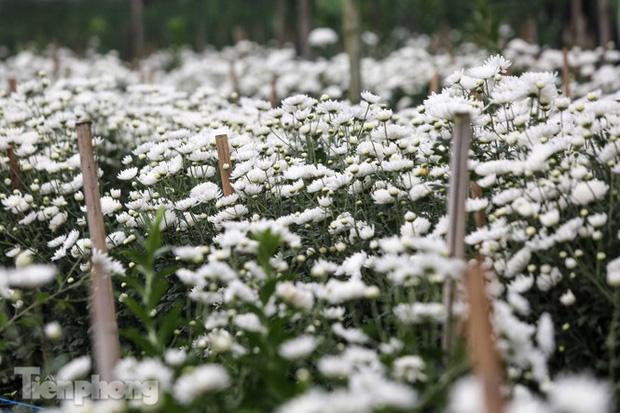 Không có nơi tiêu thụ, người nông dân khóc ròng, cắt hoa vứt đầy đường-15