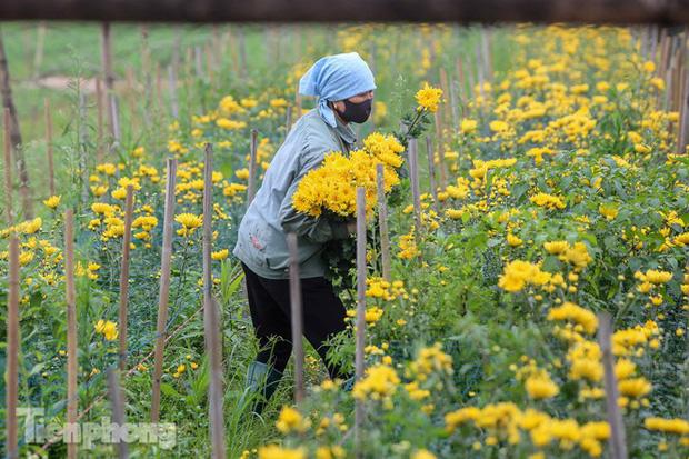 Không có nơi tiêu thụ, người nông dân khóc ròng, cắt hoa vứt đầy đường-8