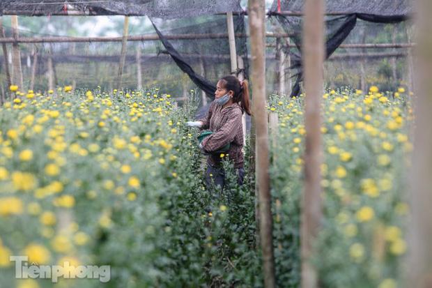 Không có nơi tiêu thụ, người nông dân khóc ròng, cắt hoa vứt đầy đường-9