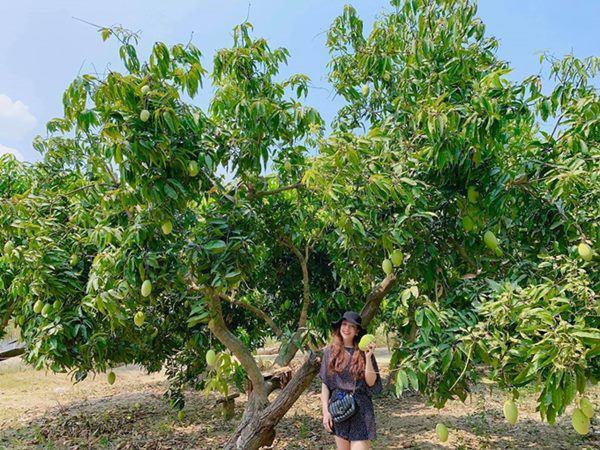 Đã mắt với vườn xoài 150 gốc của ca sĩ Minh Chuyên tại Nha Trang, đều tăm tắp 1kg/quả-3