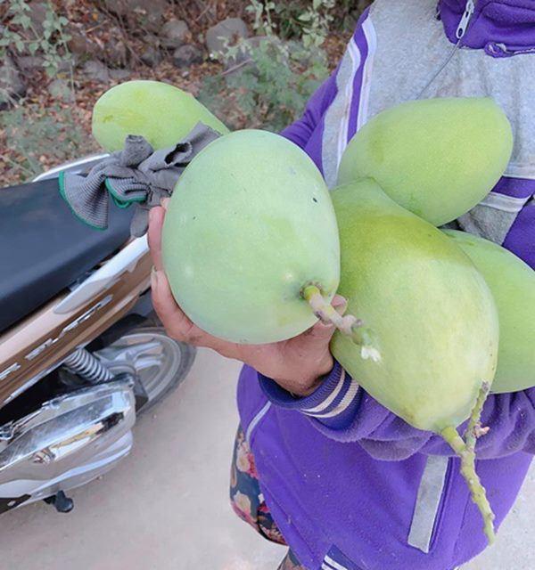 Đã mắt với vườn xoài 150 gốc của ca sĩ Minh Chuyên tại Nha Trang, đều tăm tắp 1kg/quả-7
