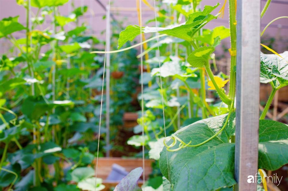 Nghỉ dịch ở nhà, gia đình trẻ gắn kết yêu thương bằng cách cải tạo vườn rau xanh tốt giữa lòng Sài Gòn-7