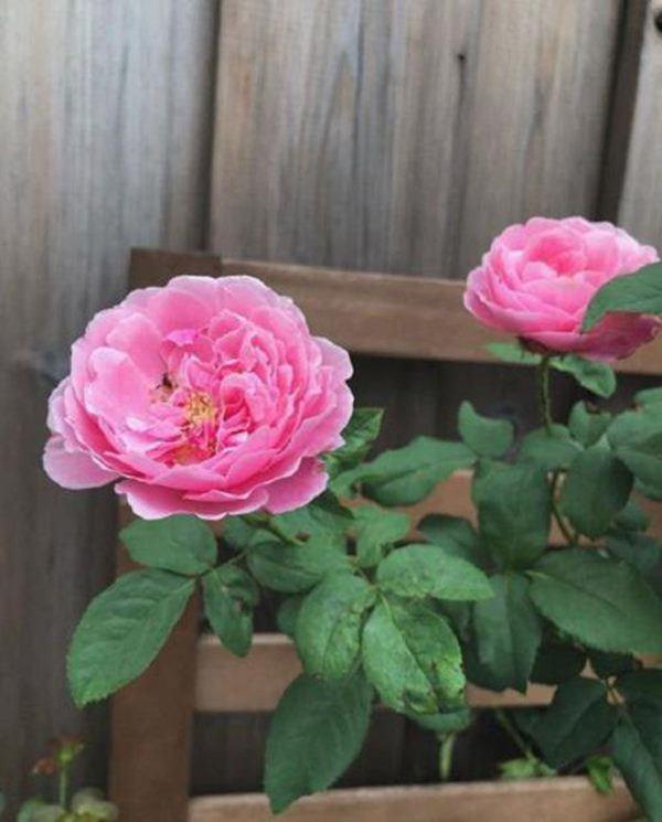 Những vườn hồng trăm triệu trong nhà sao: Hà Tăng, Quyền Linh, Khánh Thi... ai đỉnh hơn?-7