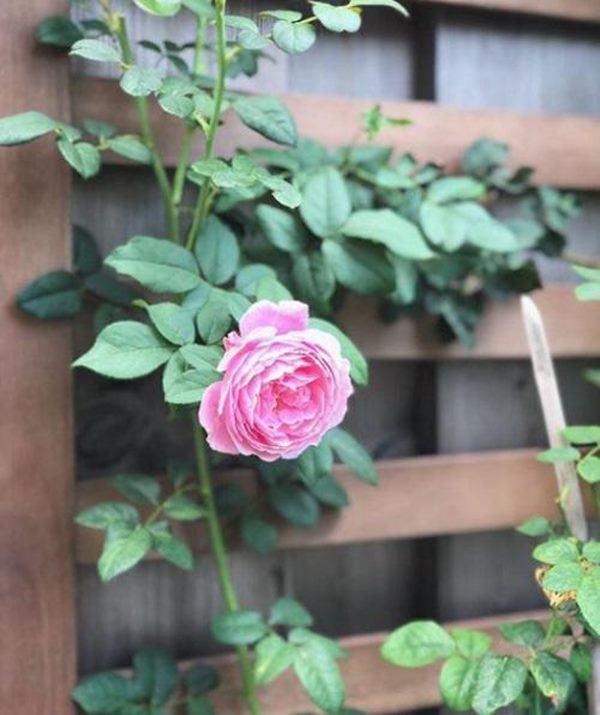 Những vườn hồng trăm triệu trong nhà sao: Hà Tăng, Quyền Linh, Khánh Thi... ai đỉnh hơn?-8