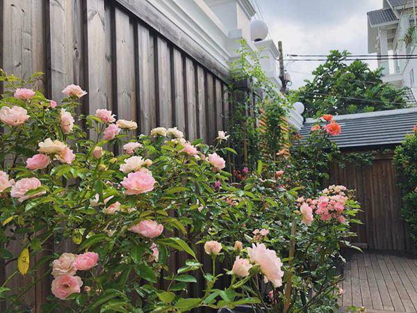 Những vườn hồng trăm triệu trong nhà sao: Hà Tăng, Quyền Linh, Khánh Thi... ai đỉnh hơn?-9