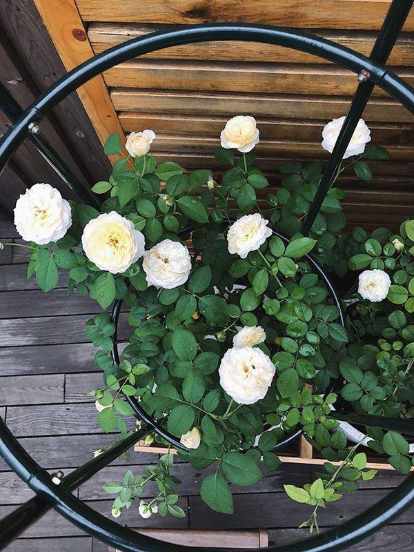 Những vườn hồng trăm triệu trong nhà sao: Hà Tăng, Quyền Linh, Khánh Thi... ai đỉnh hơn?-10
