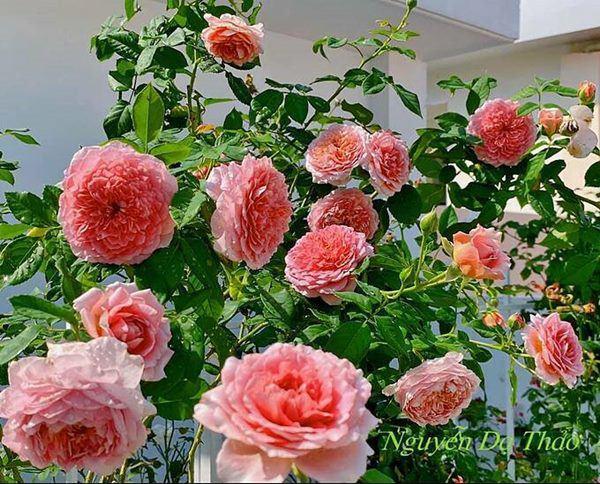 Những vườn hồng trăm triệu trong nhà sao: Hà Tăng, Quyền Linh, Khánh Thi... ai đỉnh hơn?-15