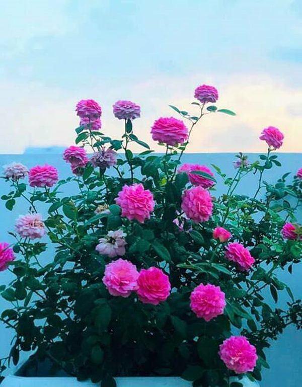 Những vườn hồng trăm triệu trong nhà sao: Hà Tăng, Quyền Linh, Khánh Thi... ai đỉnh hơn?-16