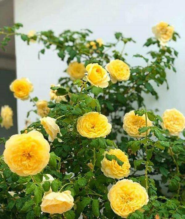 Những vườn hồng trăm triệu trong nhà sao: Hà Tăng, Quyền Linh, Khánh Thi... ai đỉnh hơn?-17