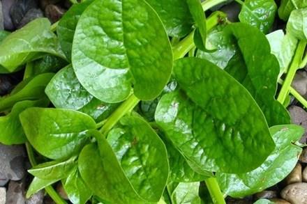 Rau mồng tơi: Cực tốt và cực độc, biết mà tránh khi ăn kẻo rước họa vào người