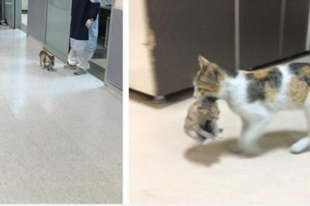 Mèo mẹ khiến dân mạng xúc động khi tự tha con ốm đến bệnh viện cầu cứu