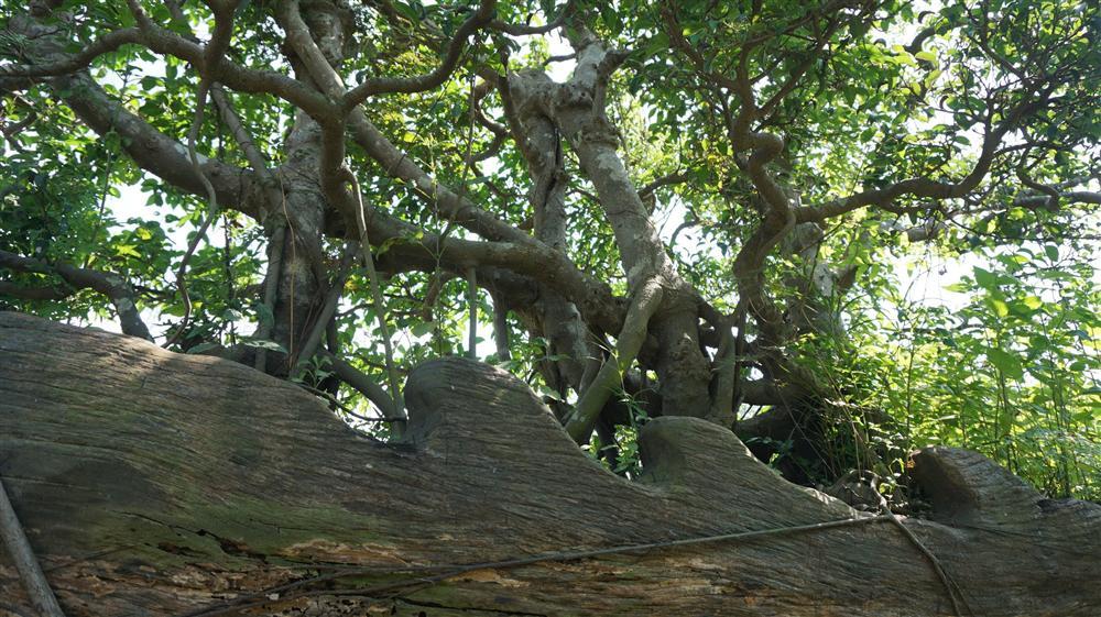 Khu vườn bỏ hoang toàn siêu cây bạc tỷ của đại gia nức tiếng một thời-5