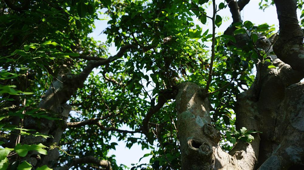 Khu vườn bỏ hoang toàn siêu cây bạc tỷ của đại gia nức tiếng một thời-6