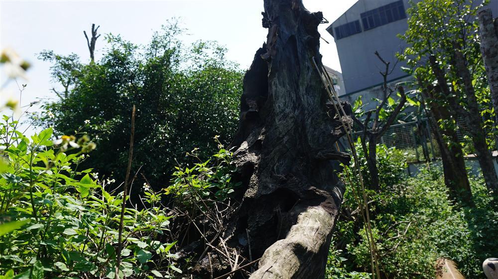 Khu vườn bỏ hoang toàn siêu cây bạc tỷ của đại gia nức tiếng một thời-7