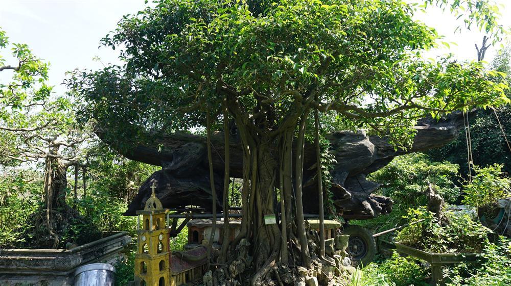 Khu vườn bỏ hoang toàn siêu cây bạc tỷ của đại gia nức tiếng một thời-8