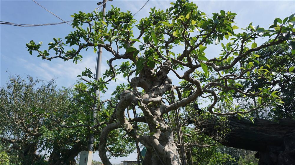 Khu vườn bỏ hoang toàn siêu cây bạc tỷ của đại gia nức tiếng một thời-12