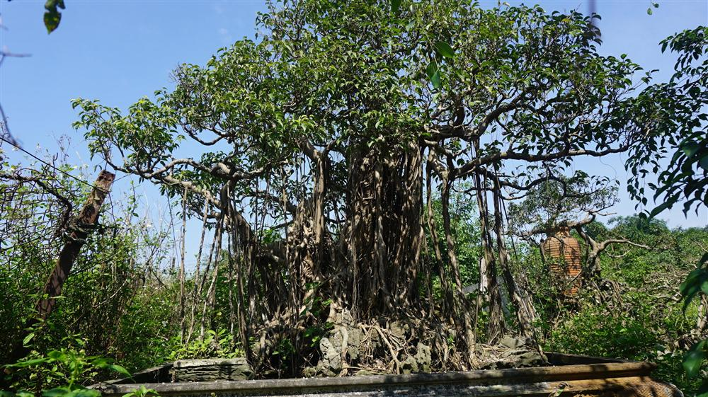 Khu vườn bỏ hoang toàn siêu cây bạc tỷ của đại gia nức tiếng một thời-15