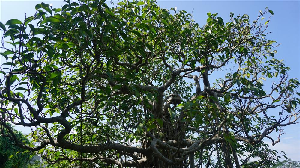 Khu vườn bỏ hoang toàn siêu cây bạc tỷ của đại gia nức tiếng một thời-16