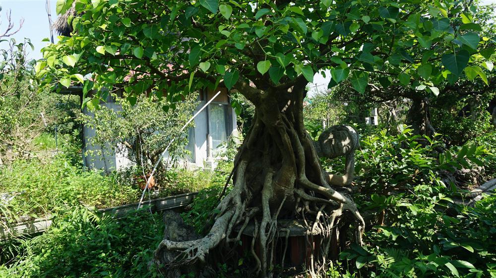 Khu vườn bỏ hoang toàn siêu cây bạc tỷ của đại gia nức tiếng một thời-17