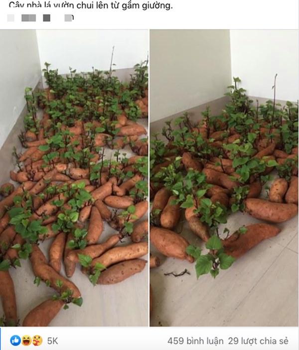 Tích trữ khoai lang giữa mùa dịch, nam thanh niên bất ngờ có rau lang xào tỏi tại gia mà chẳng cần đi chợ-1