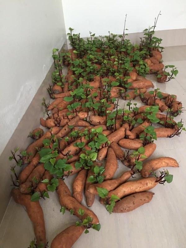 Tích trữ khoai lang giữa mùa dịch, nam thanh niên bất ngờ có rau lang xào tỏi tại gia mà chẳng cần đi chợ-2