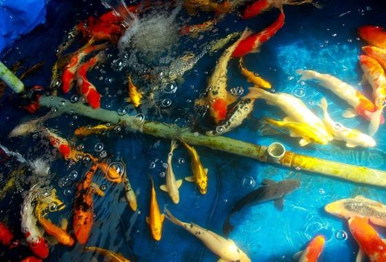 Thanh niên khởi nghiệp từ cá Koi, thu nửa tỷ mỗi năm-2
