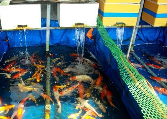 Thanh niên khởi nghiệp từ cá Koi, thu nửa tỷ mỗi năm-4