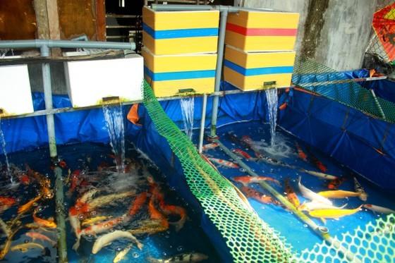 Thanh niên khởi nghiệp từ cá Koi, thu nửa tỷ mỗi năm-5
