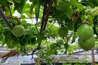 'Nông trại' trên sân thượng trồng đủ loại rau xanh, quả ngọt của nữ giáo viên Đà Nẵng