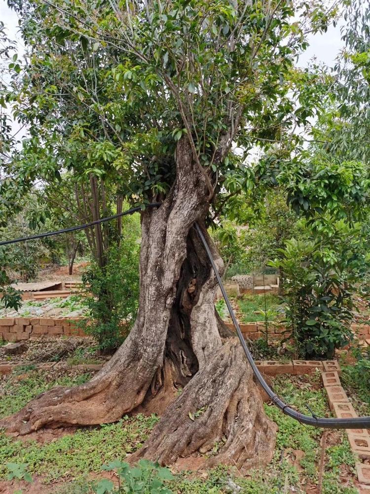 Trung Quốc chịu chi 12 tỷ mua cặp cây khủng, đại gia vẫn chưa chịu bán-2