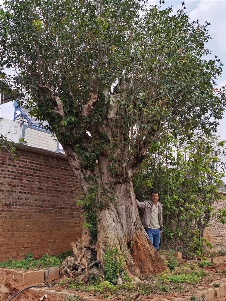 Trung Quốc chịu chi 12 tỷ mua cặp cây khủng, đại gia vẫn chưa chịu bán-4