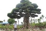Choáng ngợp cây sanh lá móng cổ thụ giá chục tỷ ở Hà Nội-11