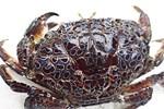 Ăn hải sản mấy chục năm ai nghĩ đơn giản PHẦN MÀU VÀNG trong con cua biển là GẠCH đều sai hết rồi nhé!-6