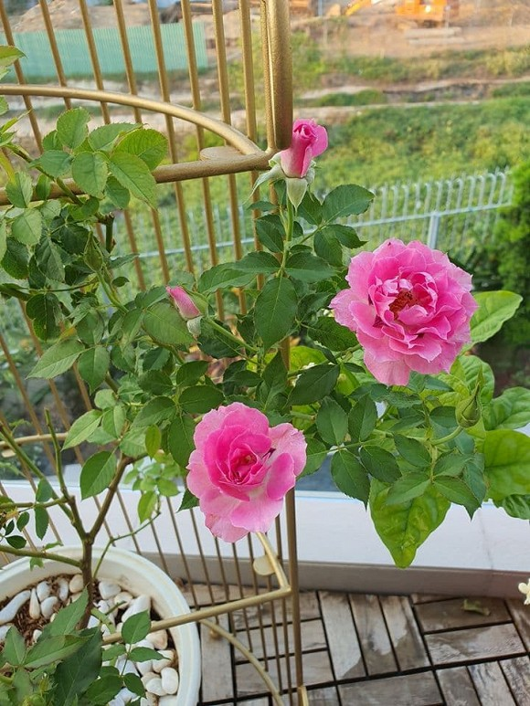 Vườn hồng tuyệt đẹp trong căn biệt thự 1300m2 của vợ chồng Vũ Thu Phương-1