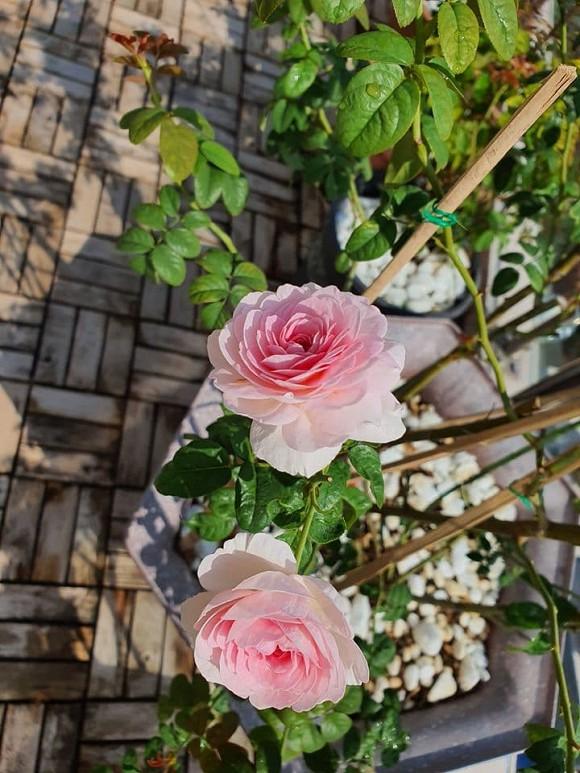 Vườn hồng tuyệt đẹp trong căn biệt thự 1300m2 của vợ chồng Vũ Thu Phương-3