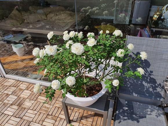 Vườn hồng tuyệt đẹp trong căn biệt thự 1300m2 của vợ chồng Vũ Thu Phương-4