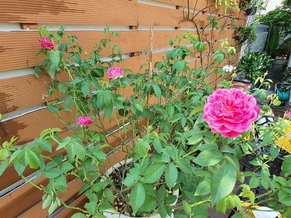 Vườn hồng tuyệt đẹp trong căn biệt thự 1300m2 của vợ chồng Vũ Thu Phương-6