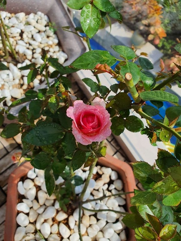 Vườn hồng tuyệt đẹp trong căn biệt thự 1300m2 của vợ chồng Vũ Thu Phương-7